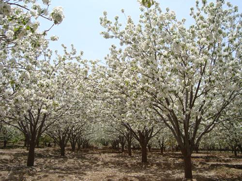 八棱海棠树直径22公分树|图片|价格