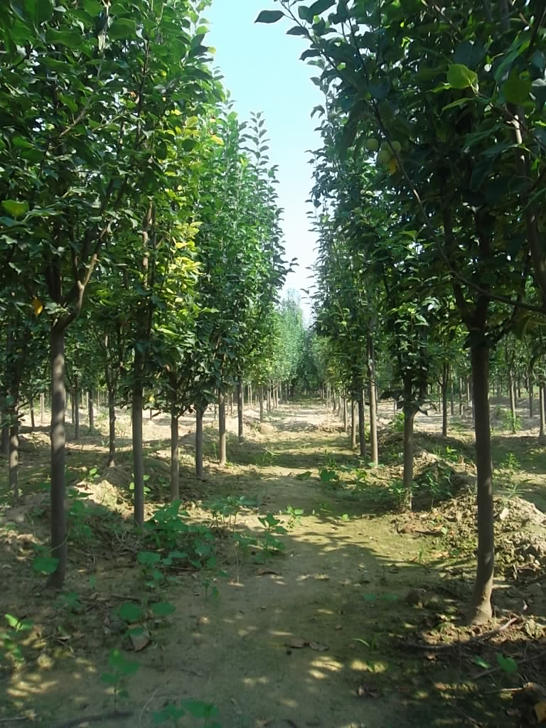 八棱海棠树种植