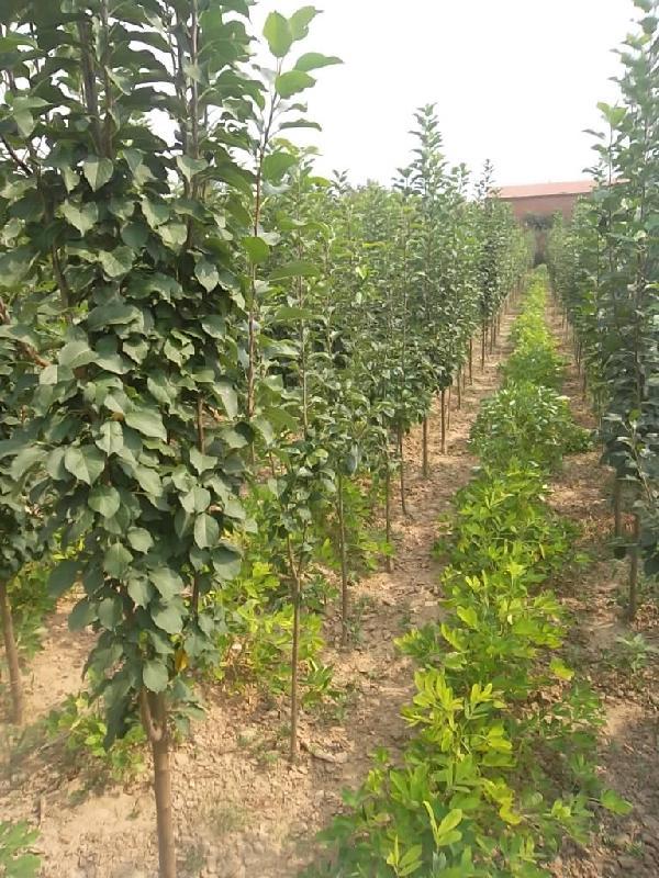 八棱海棠树产地分布介绍