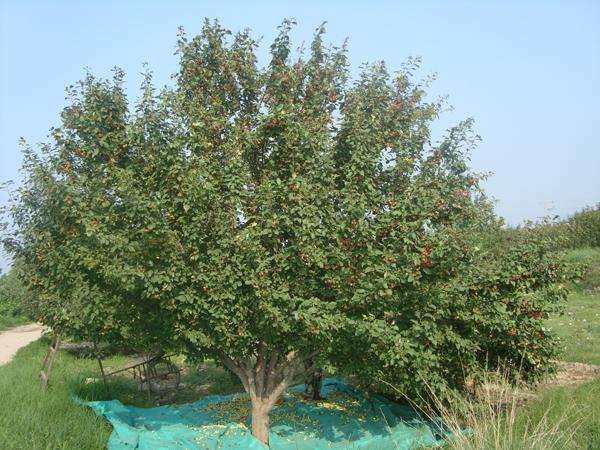 八棱海棠树直径24公分树价格